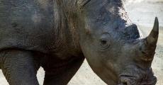 Африканские носороги исчезнут